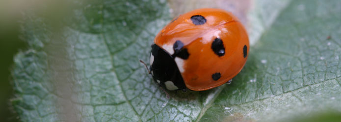 coccinelle small